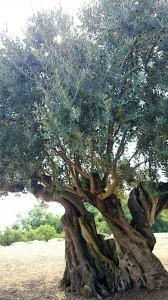 樹齢千年のオリーブ